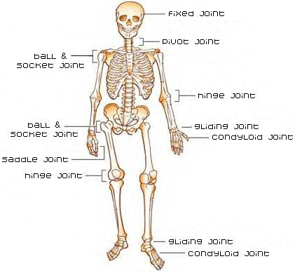 Joints Where Bones Meet